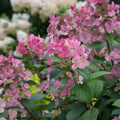 little_quick_fire_hydrangea-3629.jpg