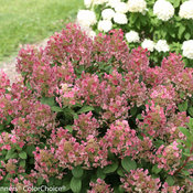 little_quick_fire_hydrangea-3995.jpg