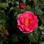 livin_la_vida_rose-1.jpg
