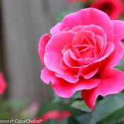 livin_la_vida_rose-6766.jpg