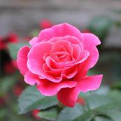 livin_la_vida_rose-6770.jpg