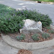 lo_behold_blue_chip_buddleia_-cary_nc.jpg