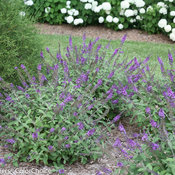 lo_behold_blue_chip_jr_buddleia-2092.jpg