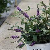 Lo & Behold 'Blue Chip Jr.' Buddleia (butterfly bush)