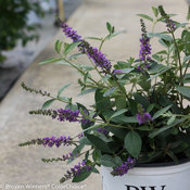 lo_behold_blue_chip_jr_buddleia-7543.jpg