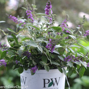 lo_behold_blue_chip_jr_buddleia-7568.jpg