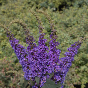 lo_behold_blue_chip_jr_buddleia.jpg