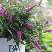 Lo & Behold®  'Pink Micro Chip' - Butterfly bush - Buddleia x