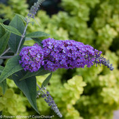 lo_behold_purple_haze_buddleia-2.jpg