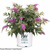 lo_behold_purple_haze_buddleia-.jpg