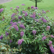 Lo & Behold Purple Haze buddleia