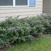 Lo & Behold 'Purple Haze' as foundation planting