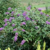 Lo & Behold 'Purple Haze' buddleia