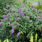 Lo & Behold® 'Purple Haze' - Butterfly Bush - Buddleia x