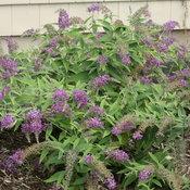 lo_behold_purple_haze_img_4077.jpg