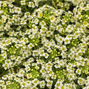 Moonlight Knight™ - Sweet Alyssum - Lobularia hybrid
