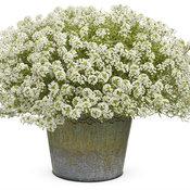 Frosty Knight® - Sweet Alyssum - Lobularia hybrid