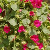 lophospermum_compact_rose.jpg