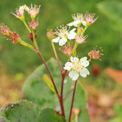 low_scape_hedger_aronia_chokeberry_flowers.jpg
