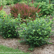 Low Scape Hedger® - Aronia melanocarpa