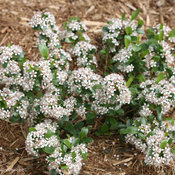 Low Scape Mound Chokeberry Blooming in the Landscape