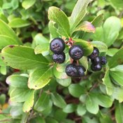 low_scape_mound_aronia_fruit.jpg