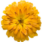macro_calendula_lady_godiva_orange.jpg