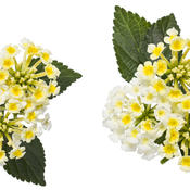 macro_lantana_yellow-white_02.jpg