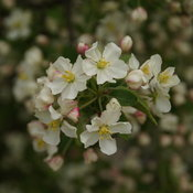 malus-lollipop-3.jpg