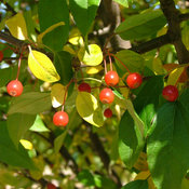 malus-lollipop-4.jpg