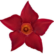 mandevilla_deep_red_01.jpg