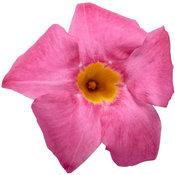 mandevilla_pink_02.jpg