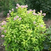 Marie Gold® - New Jersey Tea - Ceanothus x