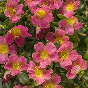 Mojave® Pink - Purslane - Portulaca umbraticola