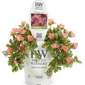 Mojave® Pink - Moss Rose