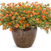 Mojave® Tangerine