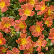 Mojave® Tangerine - Purslane - Portulaca umbraticola