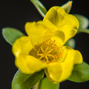 Mojave® Yellow - Moss Rose - Portulaca