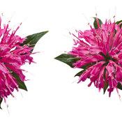 monarda-pardon-my-pink-03.jpg