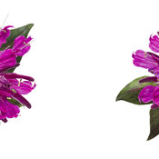 monarda-pardon-my-purple-02.jpg