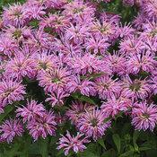 'Leading Lady Pink' - Bee Balm - Monarda hybrid
