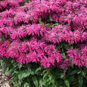 'Leading Lady Razzberry' - Bee Balm - Monarda hybrid