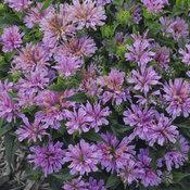 monarda_pardon_my_lavender.jpg