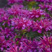 monarda_pardon_my_purple16.jpg