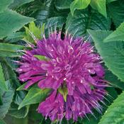 monarda_pardon_my_purple_1.jpg