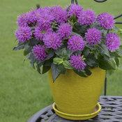monarda_pardon_my_purplecjw12_5_cc.jpg