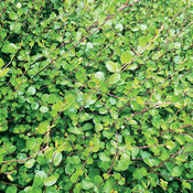 Small Leaf - Creeping Wire Vine - Muehlenbeckia axillaris