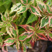 My Monet® 'Sunset' - Weigela florida
