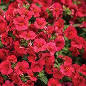Sunsatia® Cranberry Red - Nemesia hybrid