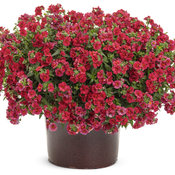 nemesia_sunsatia_cranberry_red.jpg